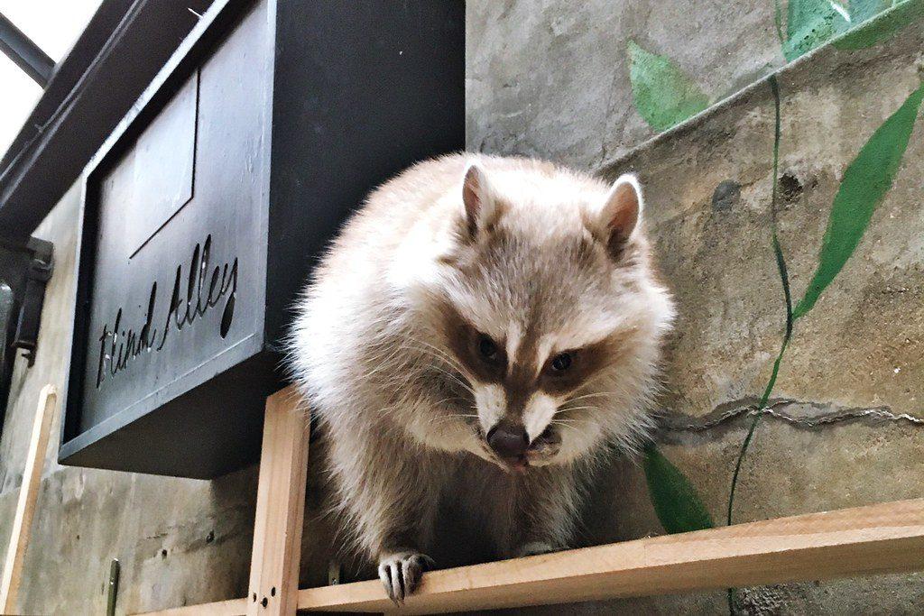Raccoon at the Blind Alley Raccoon Cafe, Seoul, South Korea