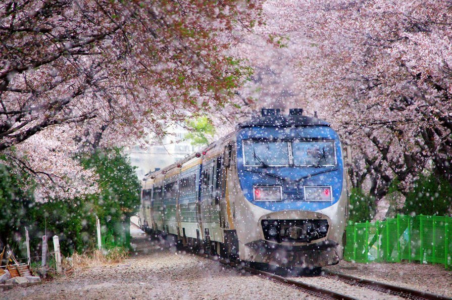 Jinhae cherry blossom festival is one of the best spring festivals in Korea