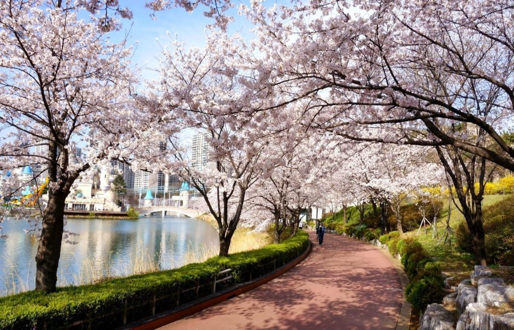 Cherry Blossoms are a must for any one week itinerary for Korea