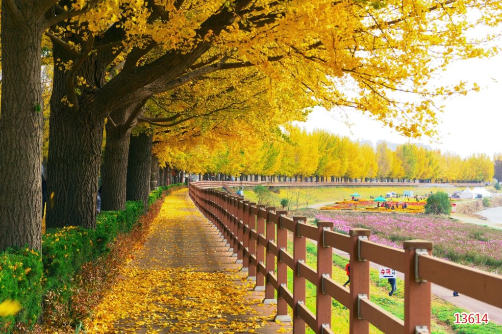 Asan Gingko Tree Road in South Korea, perfect for a one week itinerary for Korea during autumn