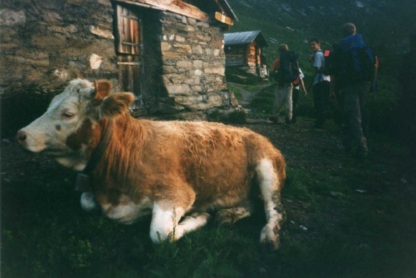 Cow on the Swiss Alps