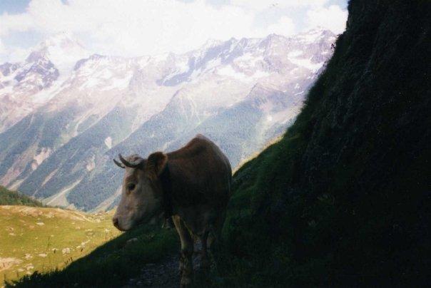 Cow in Switzerland