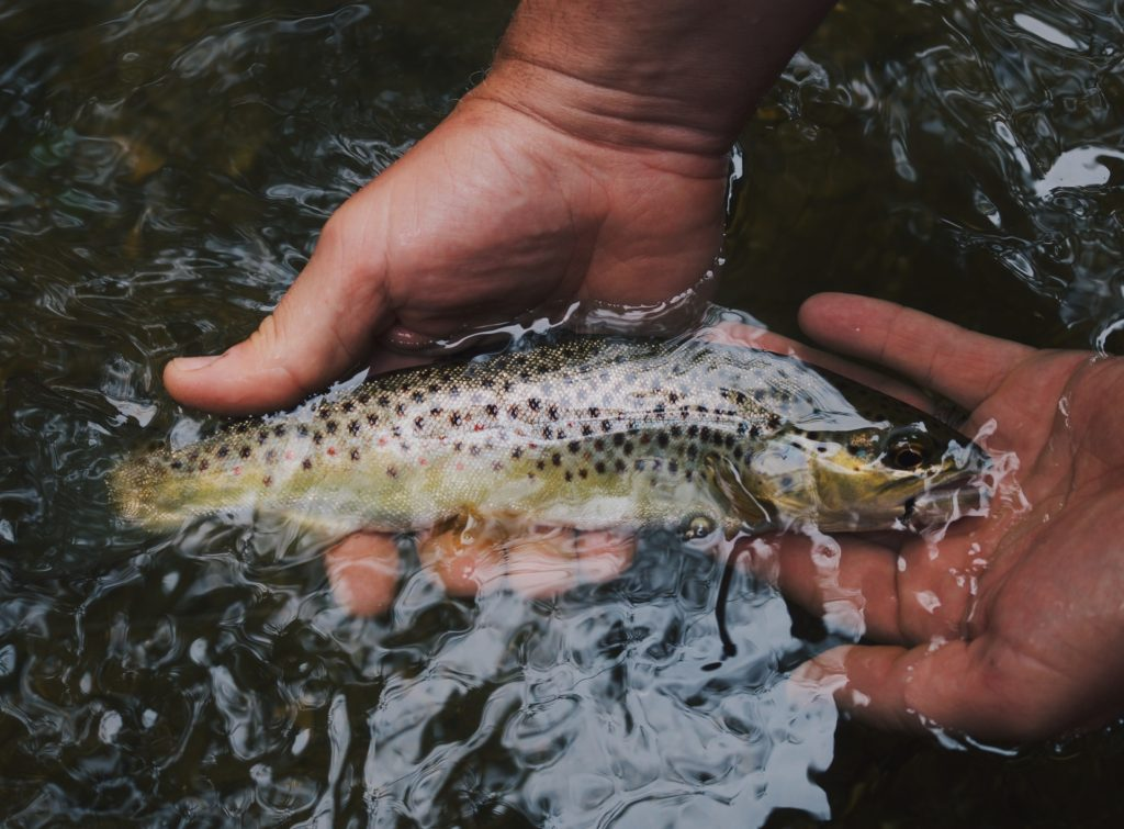 Catching trout by hand