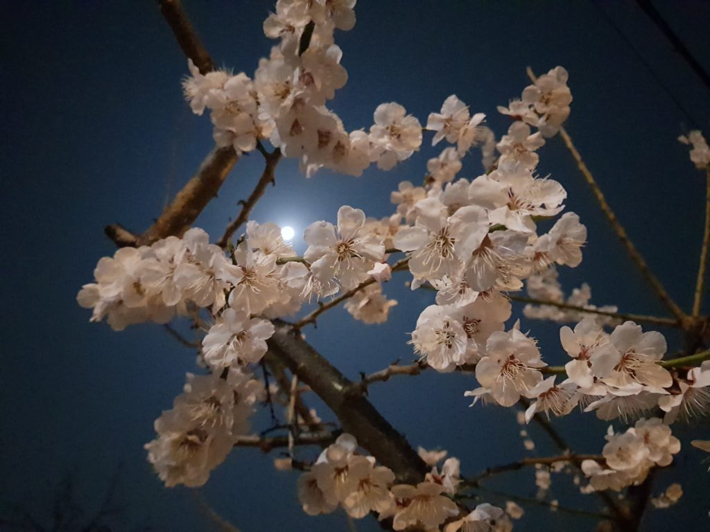 A night view of cherry blossoms in Korea