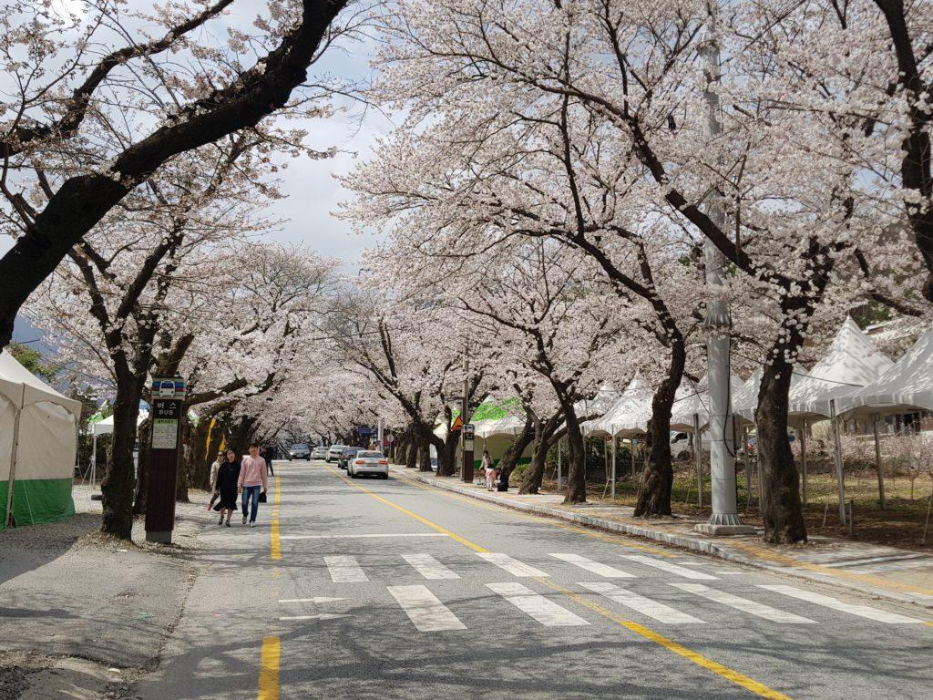 Donghaksa Cherry Blossom Festival in Daejeon