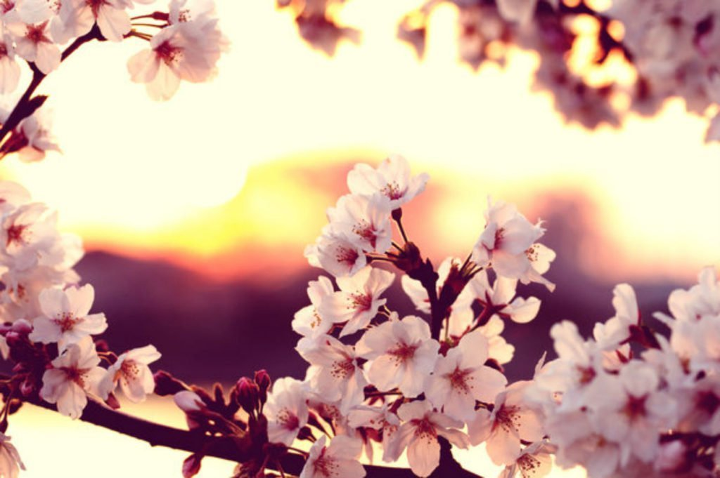 Where to see Cherry Blossoms in Korea - see beautiful cherry blossoms