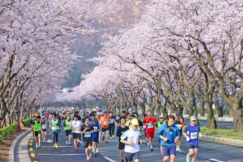 Gyeongju, where you can see cherry blossoms and runners at the same time.