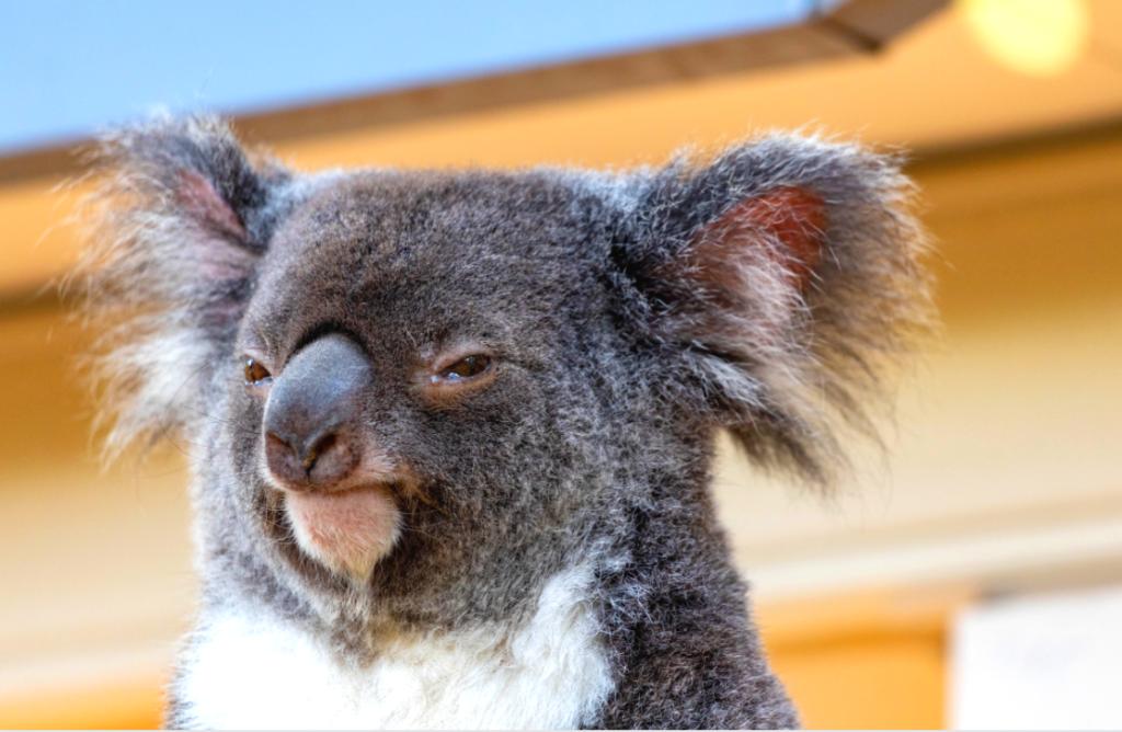 Suspicious Koala wants to make money teaching in Korea