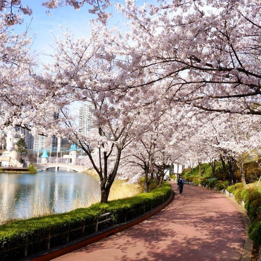 Seokchon Lake spring cherry blossom festival