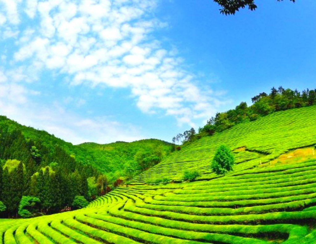 Boseong Green Tea Plantation - an amazing day trip from Seoul