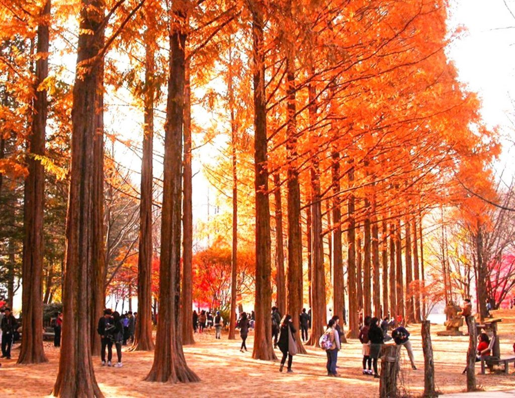 Lines of autumn trees at Nami Island in Korea
