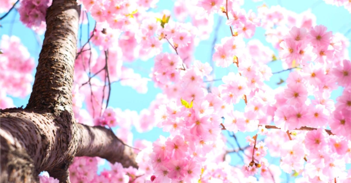 Spring Festivals In Korea: Colourful Cherry Blossoms And Lots More