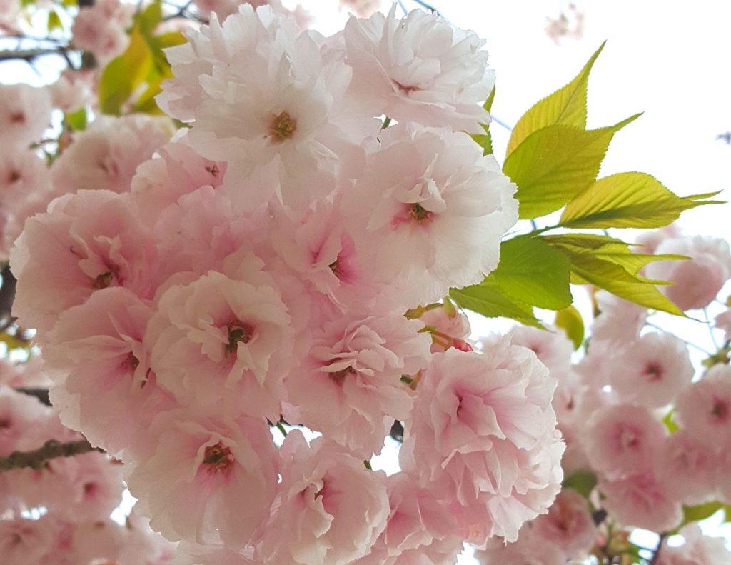 Jinhae cherry blossom festival is one of the best spring festivals in Korea