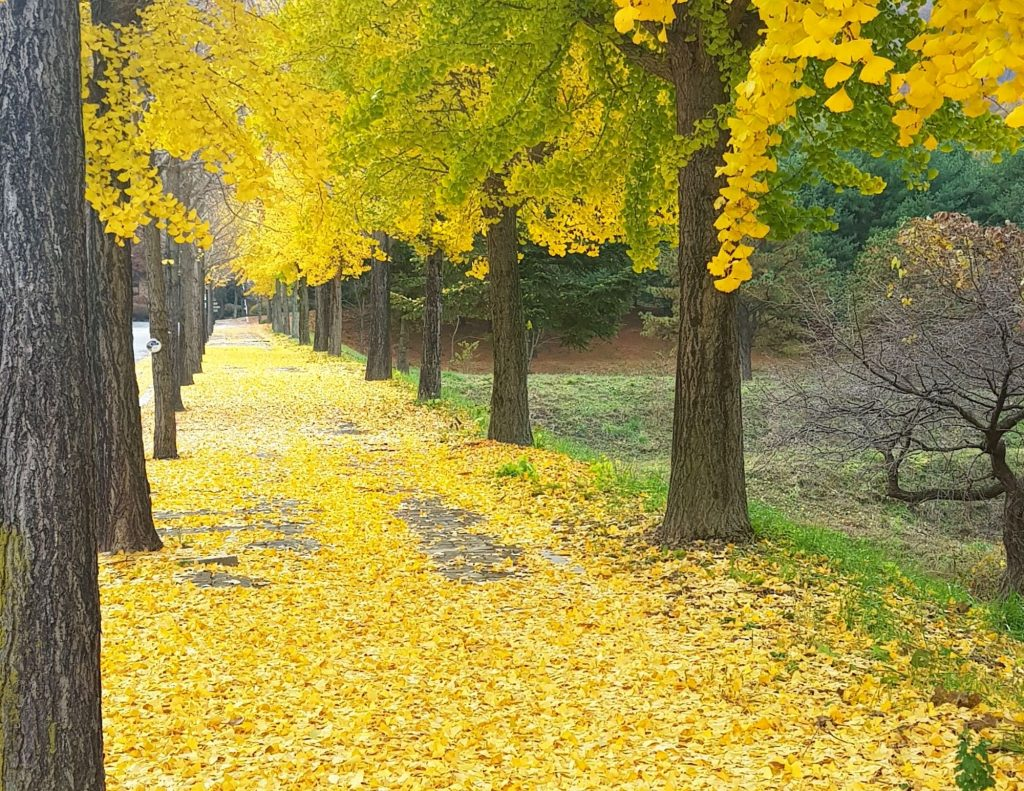 Golden Gingko leaves on the floor make autumn the best time to visit Korea