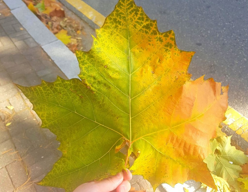 One of the gigantic autumn leaves you can find in Korea