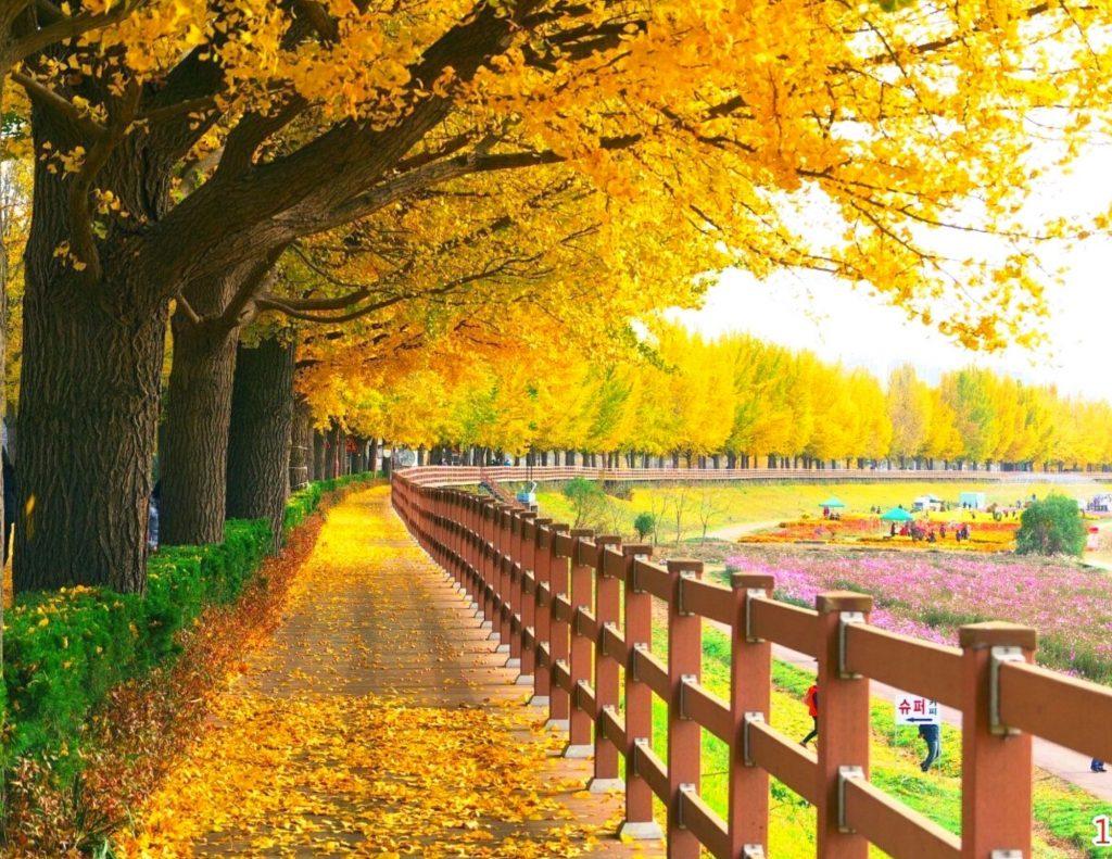 Asan Gingko Tree Road in Korea