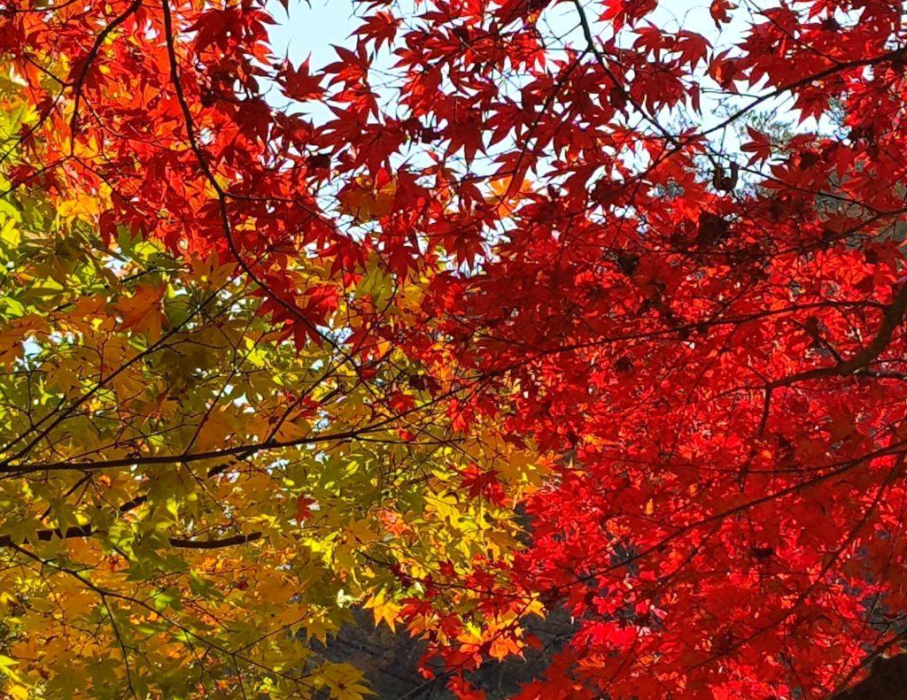 Colourful maple leaves make Korea's fall foliage so beautiful
