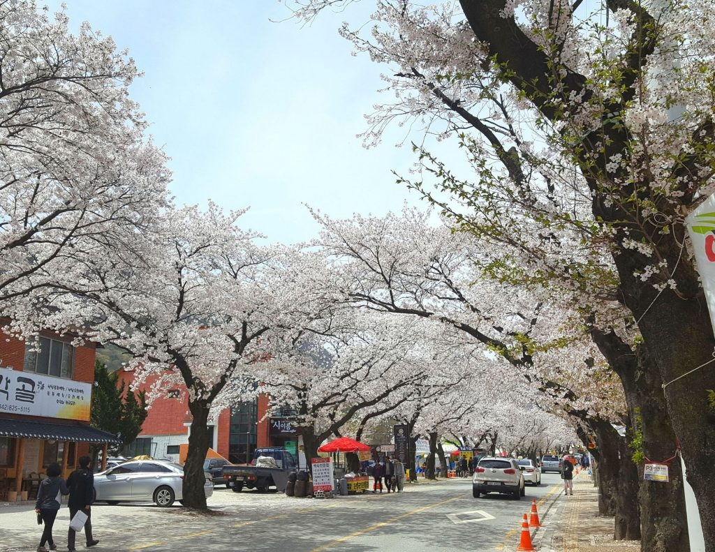 Cherry blossoms in Gyeryongsan National Park