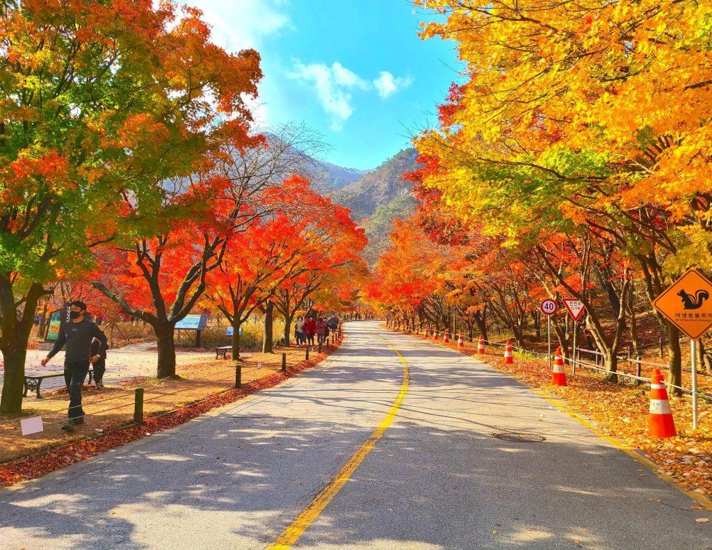 Maple Tree Road at Naejangsan National Park, Korea