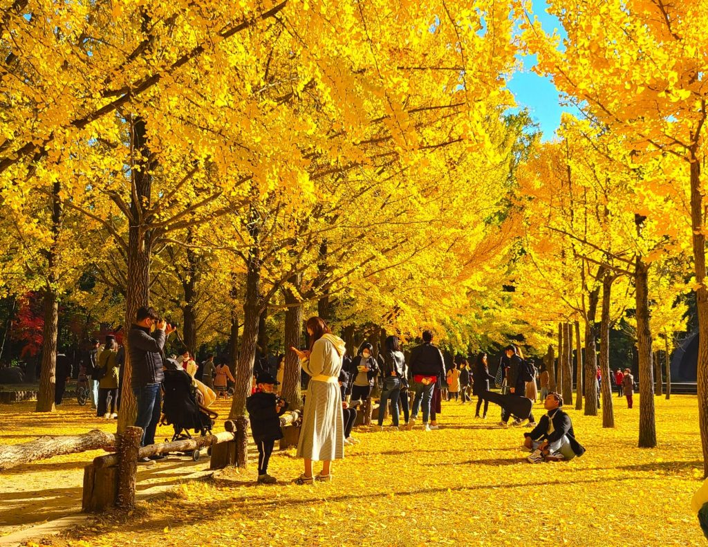 Golden ginkgo leaves on Nami Island in autumn